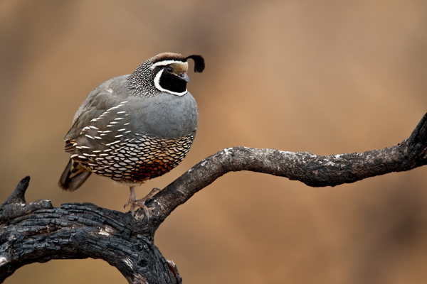 quail-raptorcaptor110800021-123rf-extended-license-small